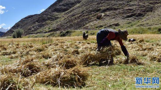 (經濟)(3)西藏江孜:青稞豐收