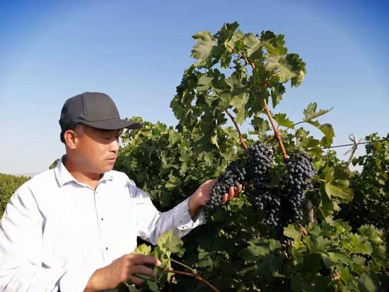 【你在他乡还好吗】红寺堡葡萄产业让移民过上好日子