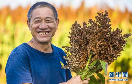 (经济)(3)河北枣强:高粱种植助推产业脱贫