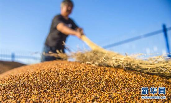 (经济)(4)河北枣强:高粱种植助推产业脱贫