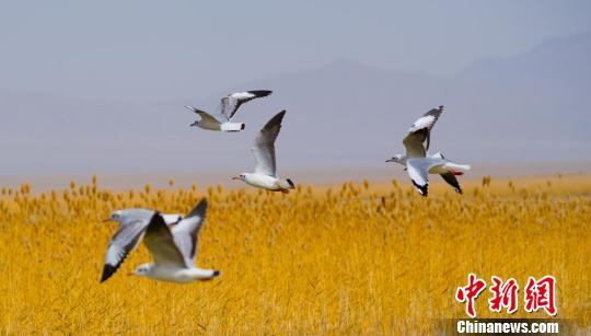 甘肃阿克塞高原湿地湖鸥鸟翔集显生机