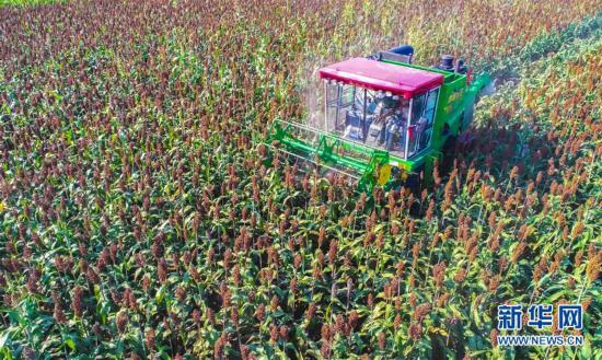 (经济)(1)河北枣强:高粱种植助推产业脱贫
