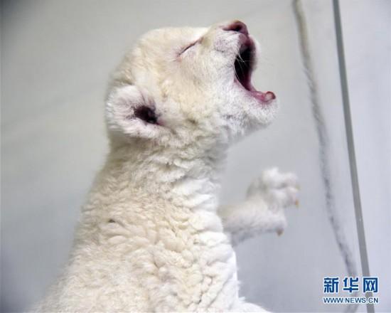 """(社会)(1)济南:""""龙凤胎""""白狮出生 珍稀又可爱"""