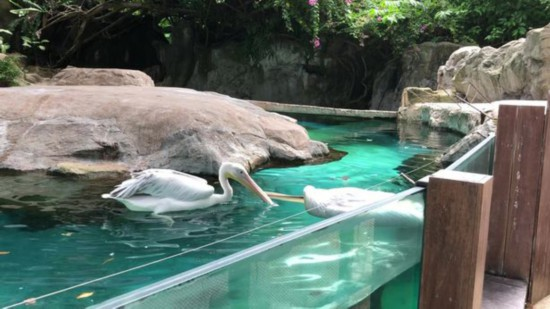 心碎!新加坡动物园内一只鹈鹕试