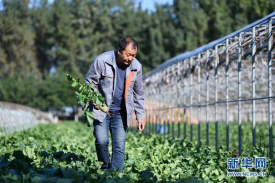 (经济)(1)沙窝萝卜 产业富民