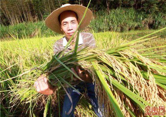 顺昌岚下乡:科技兴农稻米飘香