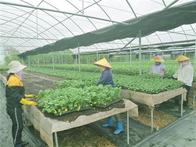 三亚500万株优质瓜菜良苗将助力