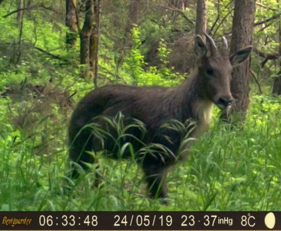 国家二级保护动物中华斑羚现身六盘山保护区