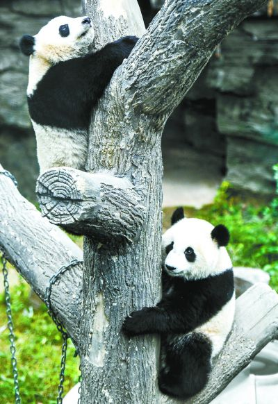 """北京动物园大熊猫馆新添两只新成员凑足""""十大将"""""""