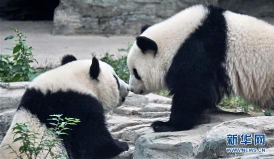 """(社会)(1)双胞胎大熊猫""""萌宝""""和""""萌玉""""落户北京动物园"""