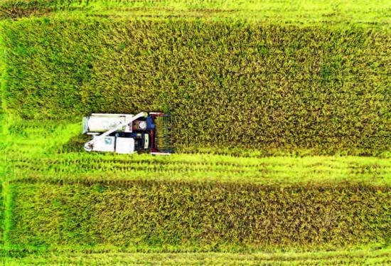 淮安金湖50余萬畝水稻開始全面收割