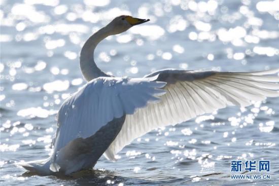 (生态)(1)荣成迎来今年首批越冬大天鹅