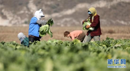 (经济)(1)辽宁海城:白菜收获忙