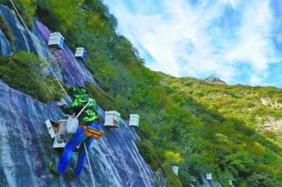 """""""蜘蛛人""""在百米懸崖峭壁割下百花蜜"""