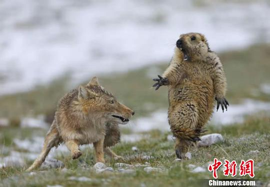 青海兩名攝影師獲英國野生動物攝影年賽大獎