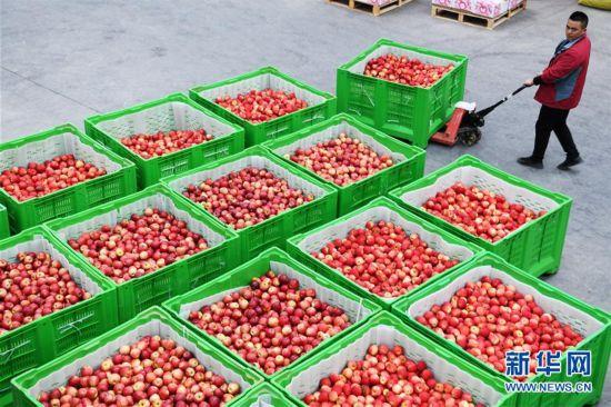 (社會)(3)貴州威寧:產業扶貧結碩果
