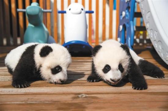 """陕西省今年首对大熊猫龙凤胎""""百"""