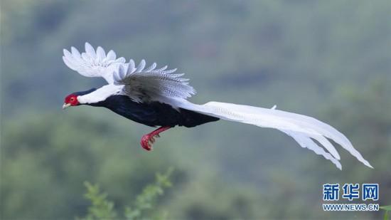 (环境)(3)鹅仙洞前白鹇飞