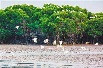 海南东寨港红树林面积扩大至1771公顷近日,海南东寨港国家级自然�;で�罗浮墩岛和罗豆防潮堤造林项目完工,累计种植红树158亩,当前红树林种植面积已扩大至1771公顷。