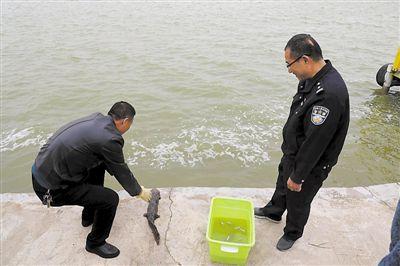 中宁首现野生娃娃鱼