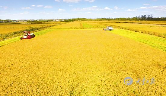 盐城大丰56万亩水稻成熟喜开镰
