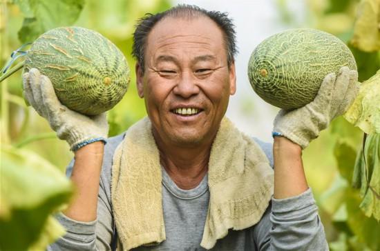 河北枣强:哈密瓜种植助推产业脱