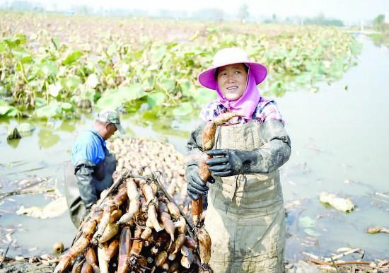 金湖塔集鎮迎來蓮藕收獲旺季 藕農加緊採挖