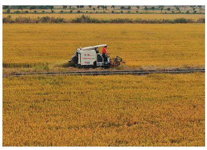 澳门金沙网上娱乐港闸优质水稻收割 迎丰收季节