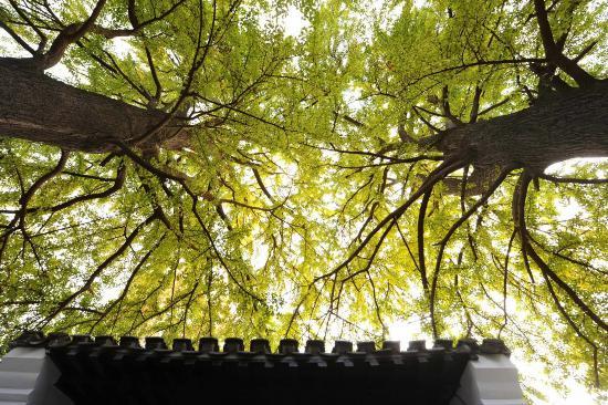 揚州百年銀杏盡顯深秋美景