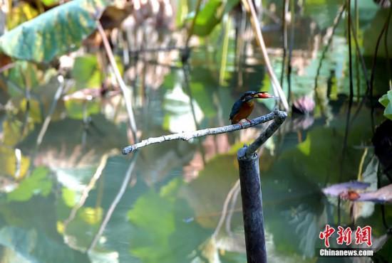 深秋福州西湖公园成观鸟胜地