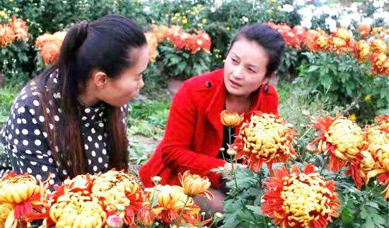沛县村民种植菊花竞相开放 吸引游客观赏采购