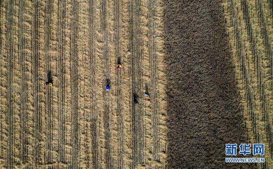 陕西延安:南泥湾水稻迎丰收