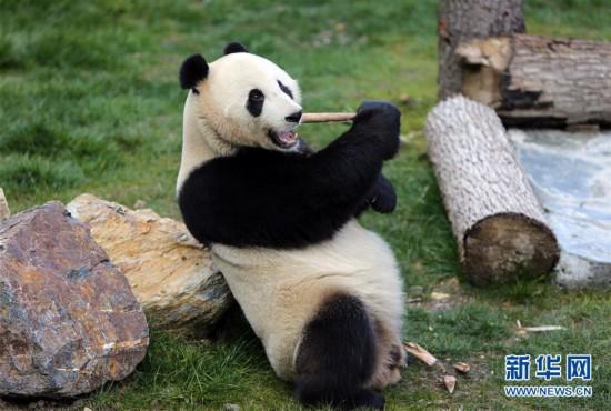 """(图文互动)(1)四只大熊猫亮相""""童话世界""""九寨沟"""