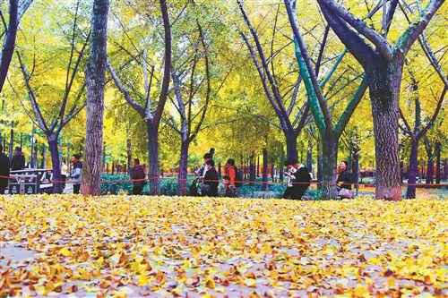 徐州银杏时光隧道进入最佳赏期 吸引游人赏景