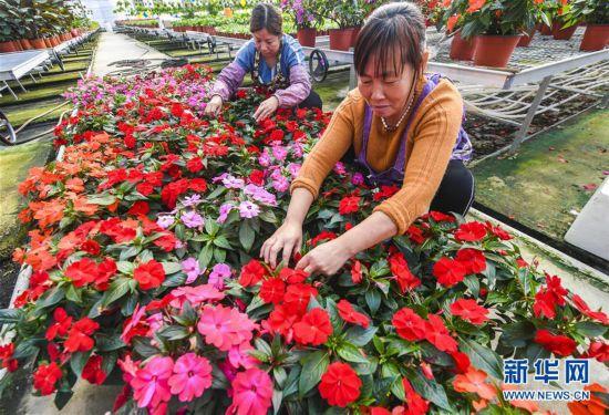 (经济)(1)河北霸州:花卉种植助力乡村振兴