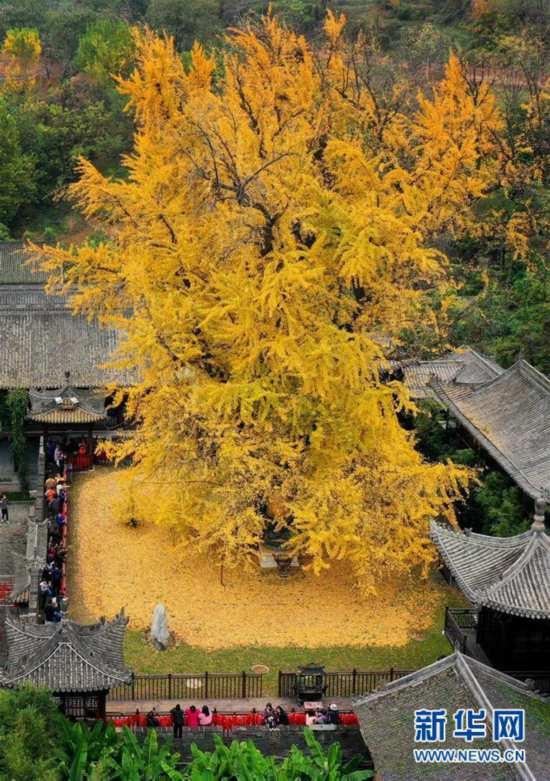 (美麗中國)(1)千年銀杏立古剎 葉隨風雨滿地金