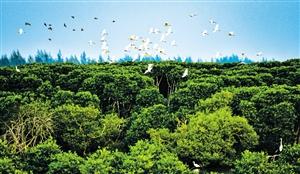 海口:生态修复稳推进 红树林里鸟翩跹