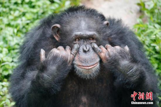 资料图片:黑猩猩搞怪微笑。王成杰 摄
