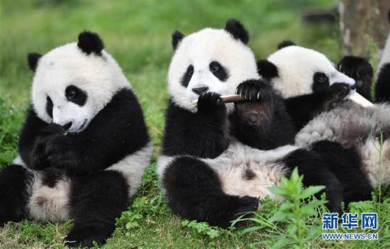 四川省臥龍国家級自然保護区の中国ジャイアントパンダ保護研究センター臥龍神樹坪基地のパンダ(5月25日撮影・薛玉斌)。