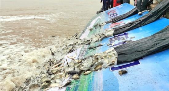 保护母亲河!145.6万尾鱼苗被放流黄河