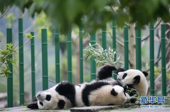 (图文互动)(1)2019大熊猫最新数据发布:全球圈养大熊猫数量达600只
