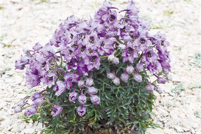 青海省、大規模な白藍翠雀花群落が初発見