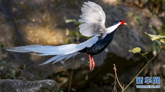 (生态)(2)寻找初冬大美之鸟