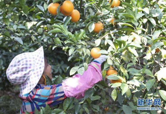 (经济)(1)江西赣州:脐橙采摘忙