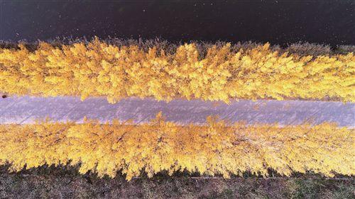 徐州路旁金色杨树林成网红打卡地
