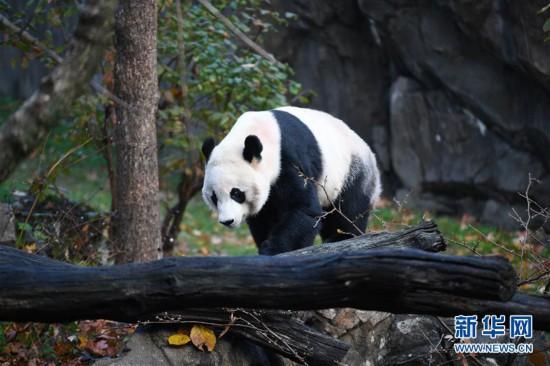 """(国际)(1)旅美大熊猫""""贝贝""""启程回国"""