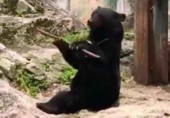 图为黑熊正在旋转木棍。图片来源:视频截图。