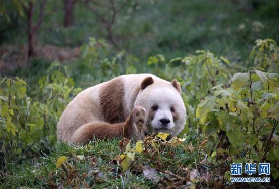 """(图文互动)(3)全球唯一圈养棕色大年夜熊猫""""七仔""""被毕生认养"""