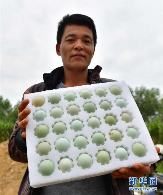 (社会)(5)广西鹿寨:做大做强产业 提高脱贫质量