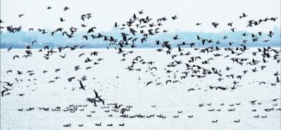 """4萬隻冬候鳥歡聚武漢""""鳥類天堂"""""""